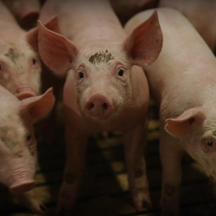 fondo-productos-porcinos