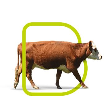 fondo-bovinos-carne