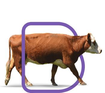 fondo-bovinos-reproductores