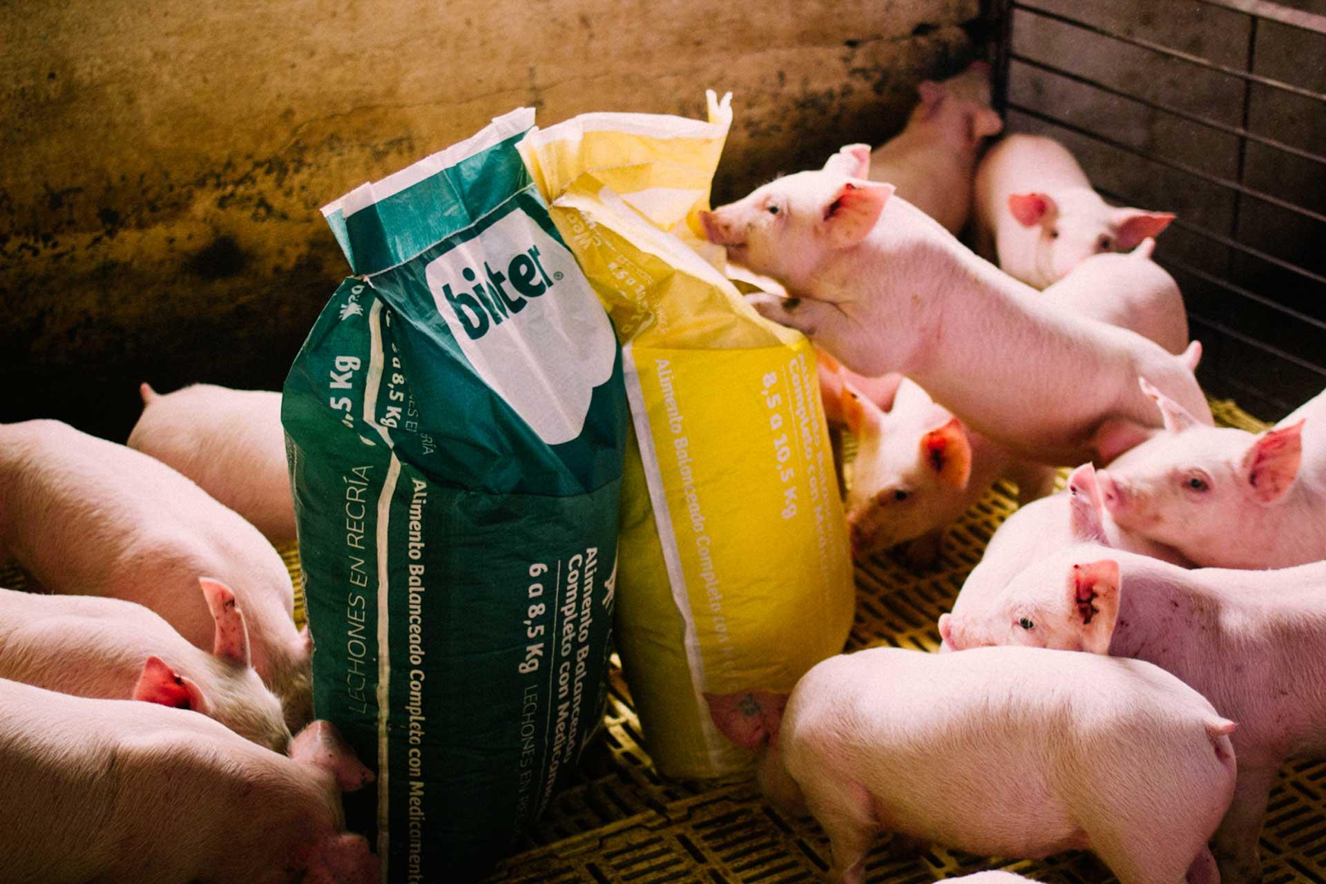 Cerdos jovenes alimentandose con Bioter Wea